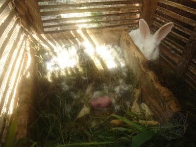 Bayi kelinci masih dalam keadaan telanjang tanpa bulu, buta, dan tuli saat lahir.