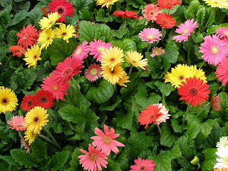 Gerbera daisy, top air-purifying plant