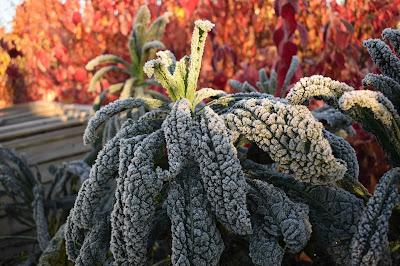 Brassica oleracea 'Nero di Toscana'