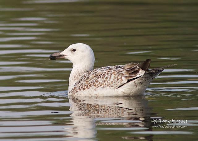 GBB Gull, 2CY, 2nd Calendar Year, Gulls