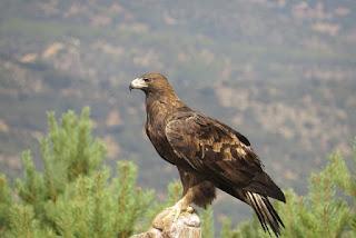 Realizarán 3er Festival del Águila Real en San Luis Potosí