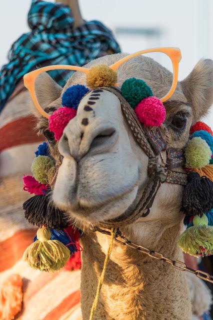 Camello con gafas