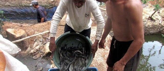 Cara Penjualan Ikan Lele Bagi Pemula Yang Masih Bingung