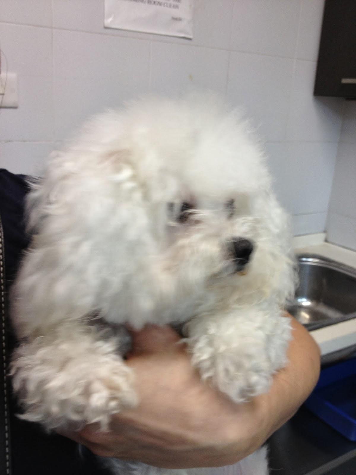 Maltipoo Cute Little White Poodle X Maltese Grooming At Sembawang