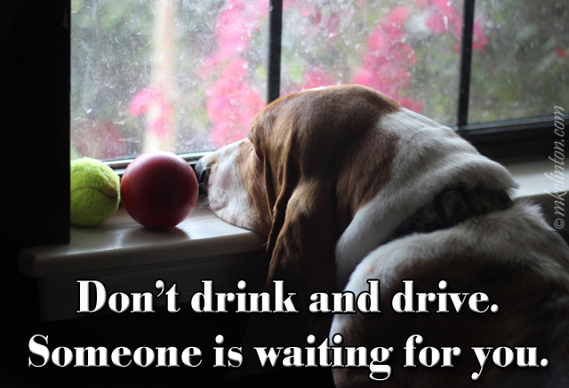 "Bentley Basset Hound looking out the window meme ""Don't drink and drive."""