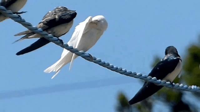 Mengenal lebih jauh tentang burung walet