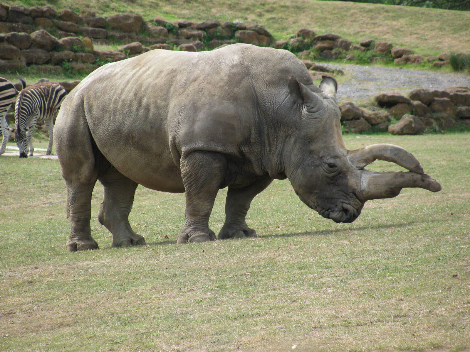 rhino southern facts animal rhinos zoochat africa live wildlife