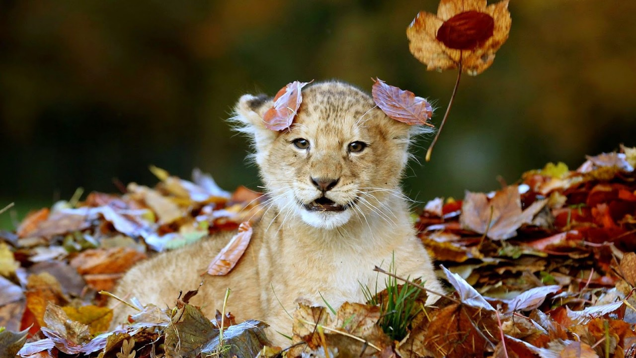 Animal S Hd Images Photos Wallpapers Free Download 2019 Lion Cub 4k Ultra Hd Images Cute Baby Lion Photos Lion Cubs Picture Gallery