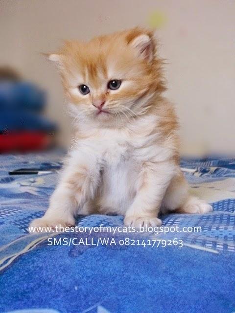 jual kucing persia medium warna coklat red tabby