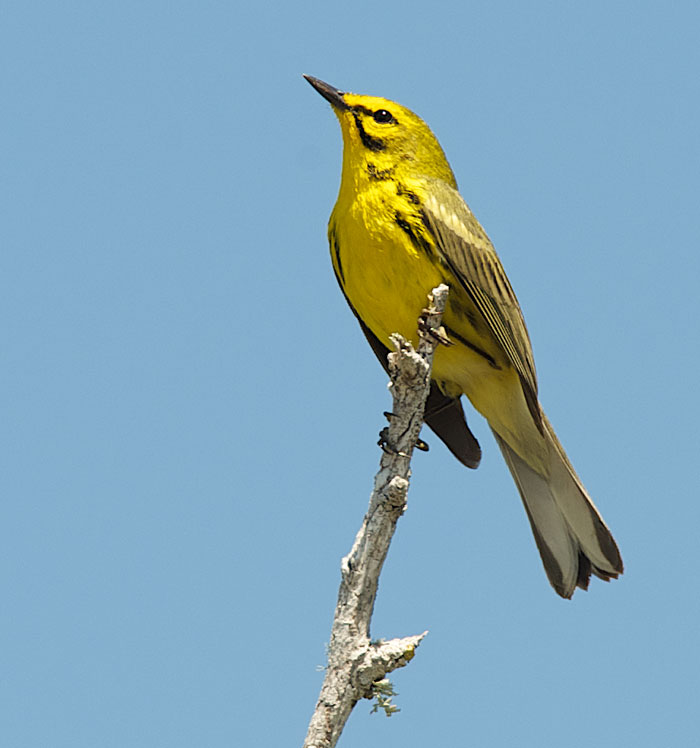 Red and the Peanut: A Study of a Prairie Warbler...