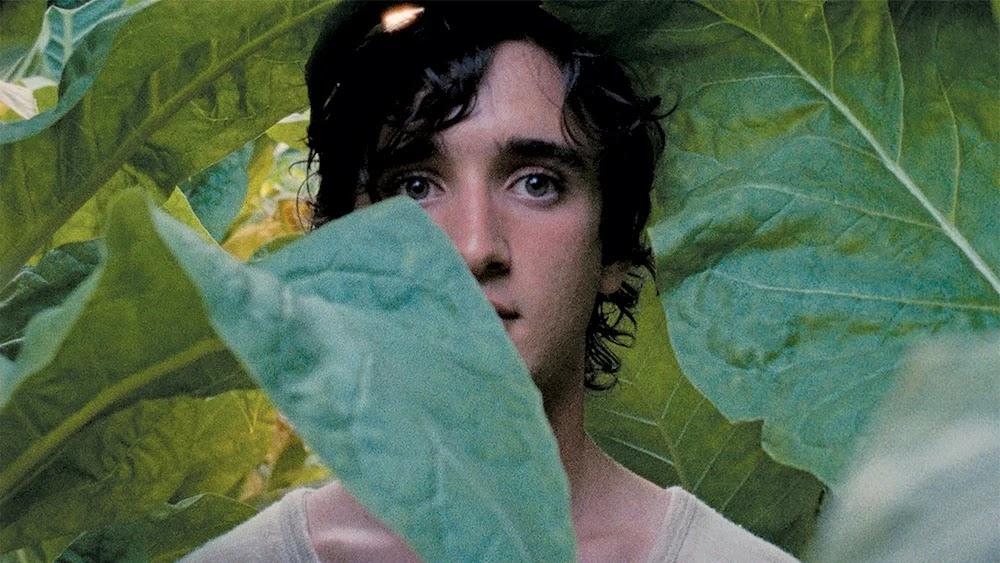łagodna twarz bohatera wśród tytoniowych liści
