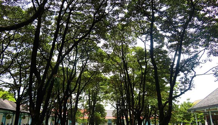 Pohon-Pohon Sawo Kecik di Pelataran
