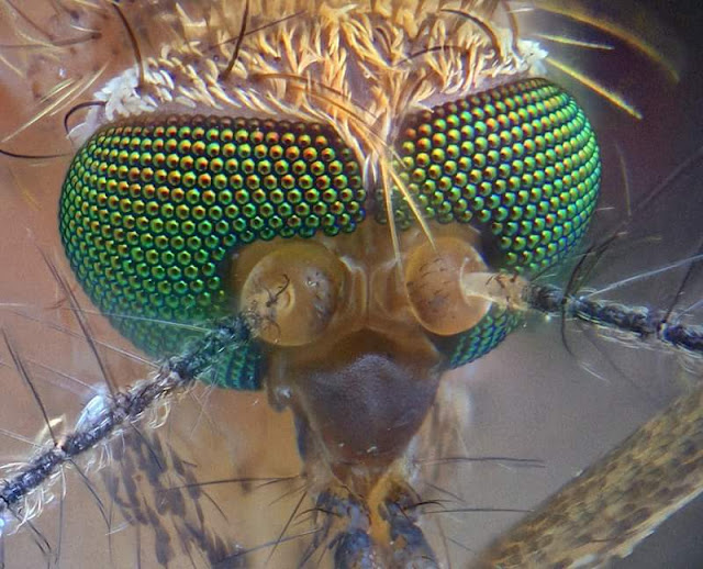 Ketika Seekor Nyamuk Kecil Diperbesar 400x Dengan Mikroskop