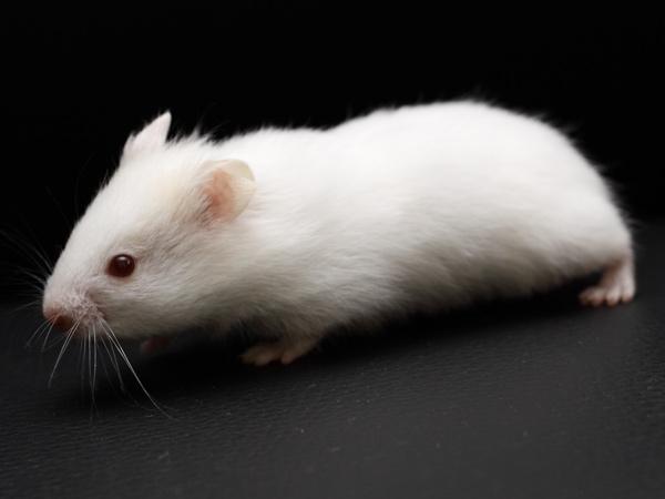 mua-ban-chuot-hamster-soc-socola-trang-tra-sua-16
