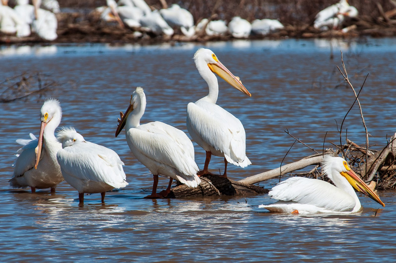 American White Pelicans, Hagerman Wildlife Refuge