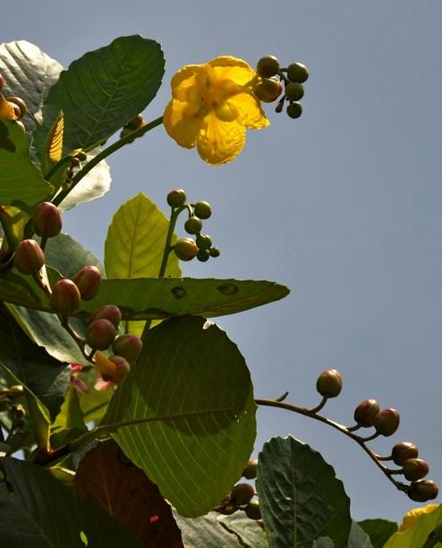 Pesona Cagar Alam Pulau Sempu di Jawa Timur Bukanlah Tempat Wisata pohon sempu