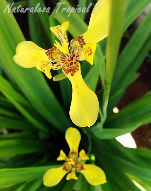 Flores del Iris amarillo, Trimezia sincorana