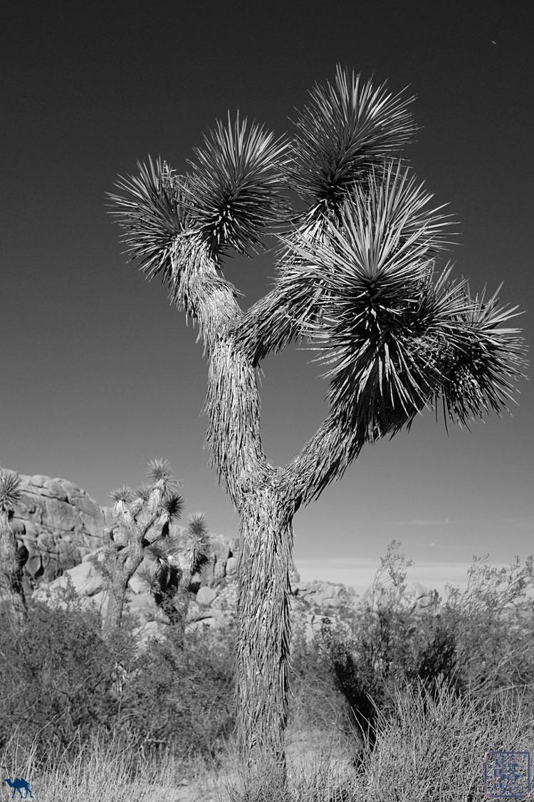 Le Chameau Bleu - Blog Voyage USA arbre de Josué de Joshua Park Californie - USA