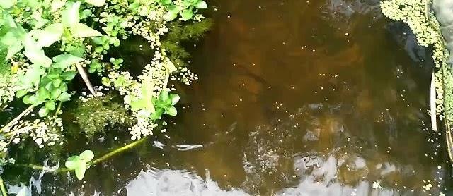 Lokasi Budidaya Ikan Betutu yang Bagus untuk Usaha