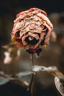 dead dried pink rose