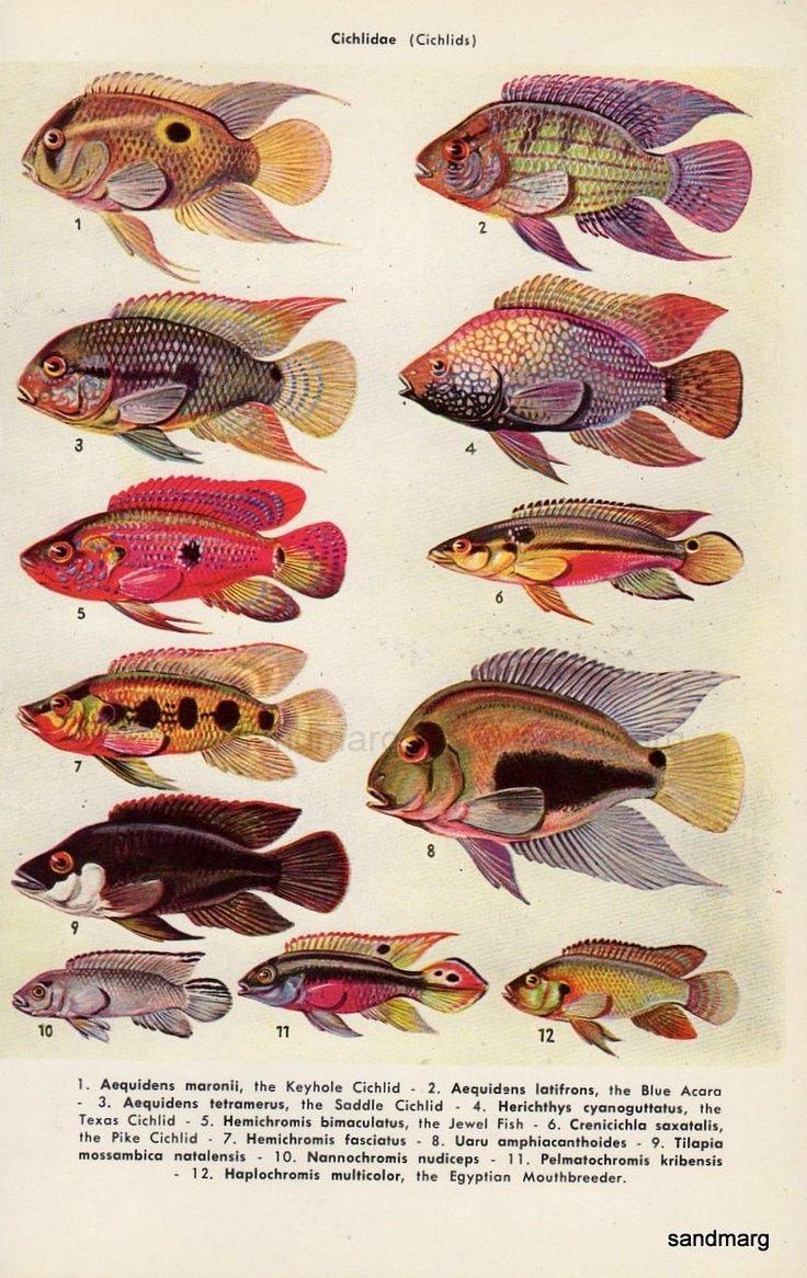 Peixes da Família Cichlidae (Cichlids)