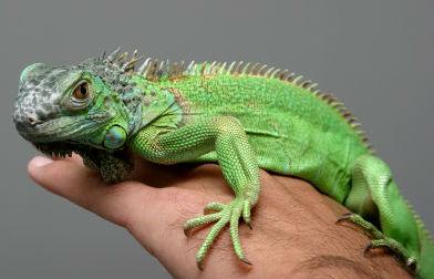 como cocinar la iguana pictures to pin on pinterest