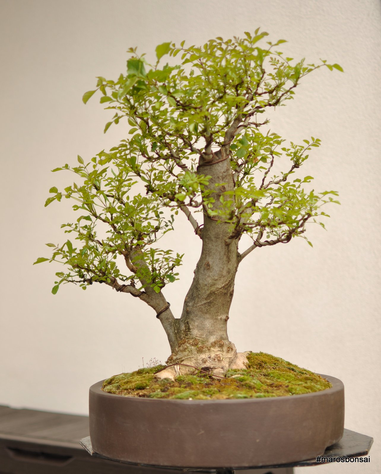 Bonsai Tree 16 Awesome Mountain Ash Bonsai Ideas