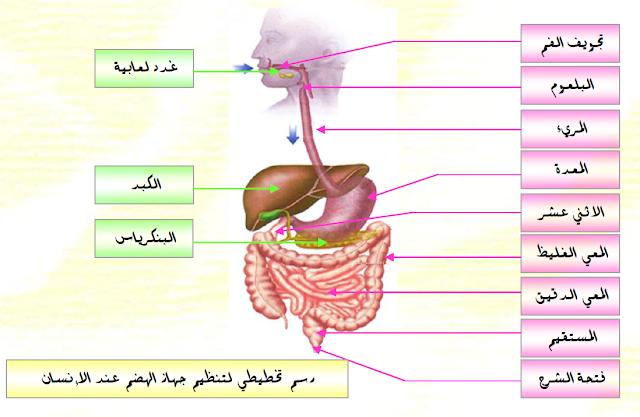 مذكرات التغذية عند الانسان للسنة الرابعة متوسط علوم طبيعية للاستاذ حمو الهواري
