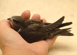 If you find a grounded Swift