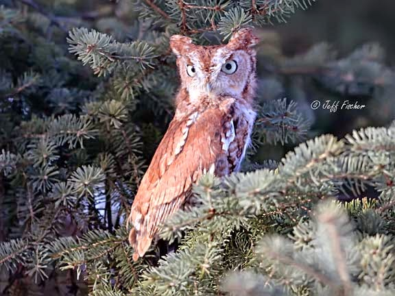 Eastern Screech-Owl Red