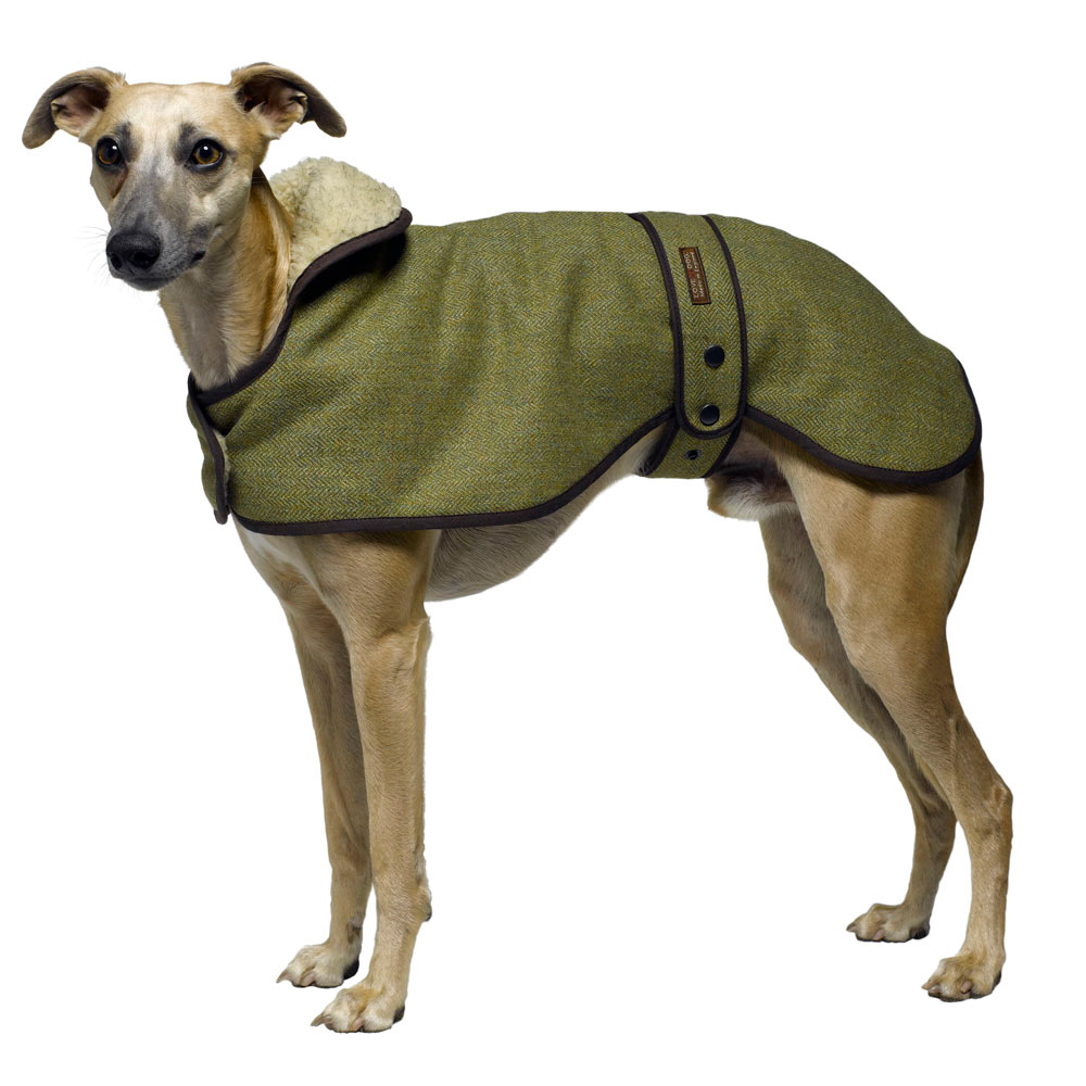 Whippet breed profile australian dog lover the major consideration in owning a whippet is because they are thin skinned and lean without much body fat they feel the cold whippets need a coat in the geenschuldenfo Choice Image