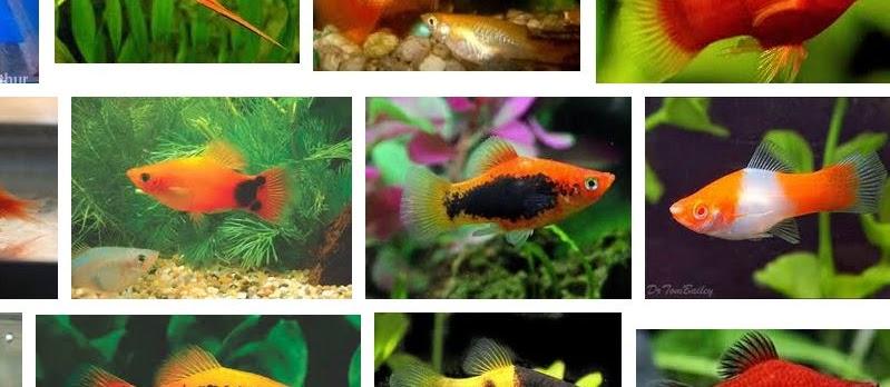 Jenis Ikan Platy yang Populer Dipelihara