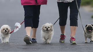 Ne marchez pas votre chiot sans prendre des sacs de caca de chien