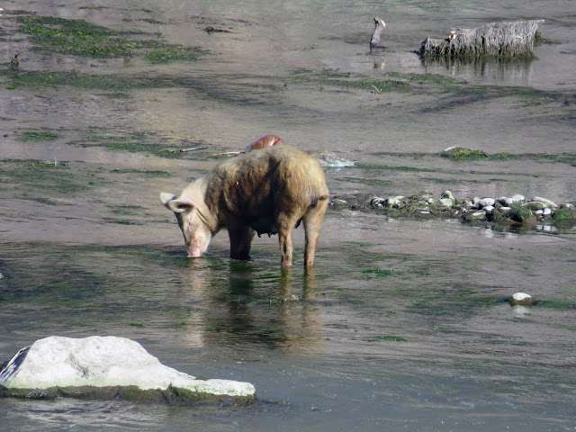 Pig in the Urubamba River in Ollantaytambo Peru