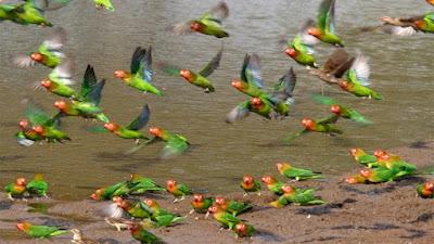 List Mutasi Lovebird Klep Beserta sifat pewarisannya