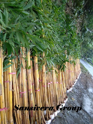 Bambu Panda Kuning