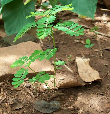 Phyllanthus niruri L.