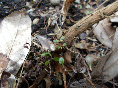 New growth on Escallonia Has cold weather killed my plants? Green Fingered Blog