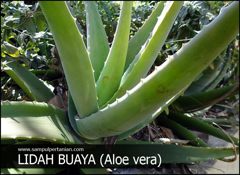 Morfologi Lidah Buaya Aloe Vera