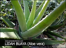 Morfologi lidah buaya (Aloe vera)