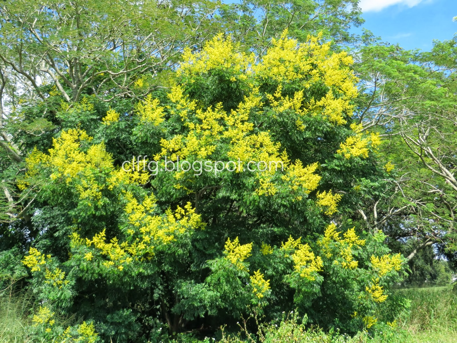 Tree with yellow flowers florida images flower decoration ideas tree with yellow flowers florida images flower decoration ideas tree with yellow flowers florida image collections mightylinksfo