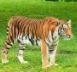 :harimau