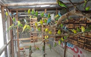 Ternak-Lovebird-Secara-Koloni