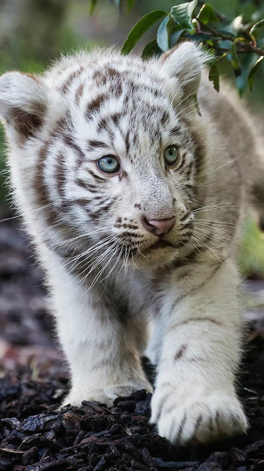 Cute Cub Bengal White Tiger 540x960 Wallpaper