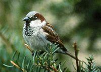 vilero, gorrión, sparrow, passeridae