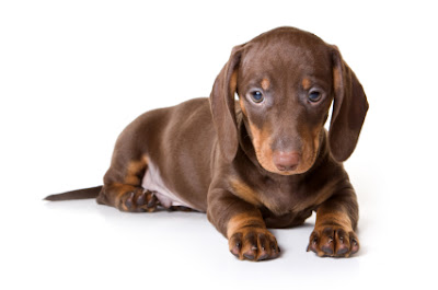 Dachshund dog Puppy
