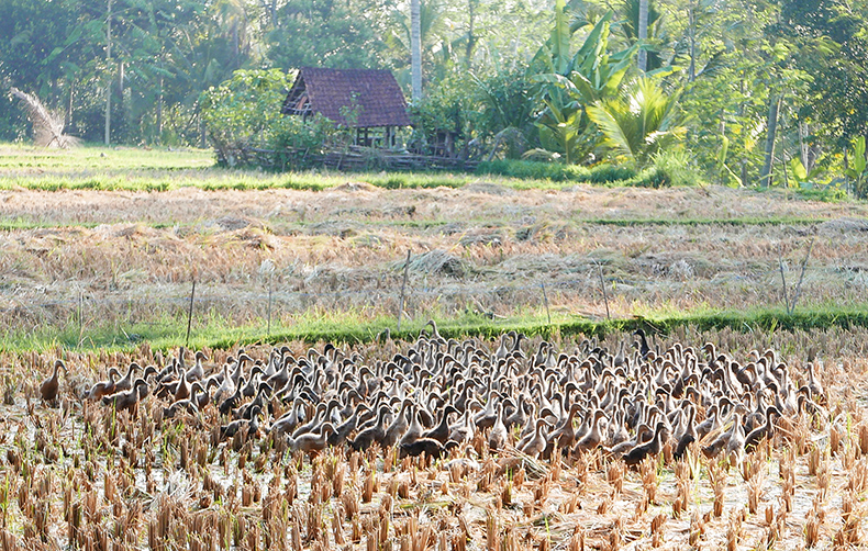 Euriental | fashion & luxury travel | Ubud, Bali, ducks in rice field