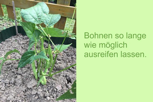 Bohnenbusch stehen lassen für Samengewinnung