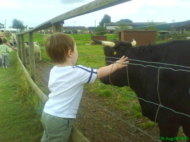 Small boy petting large cow.