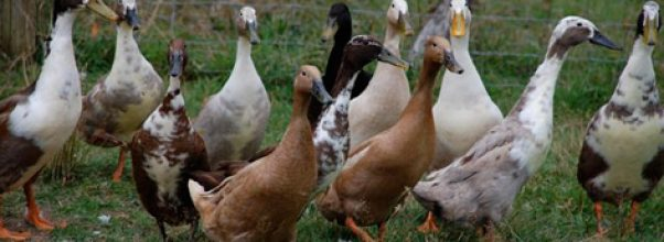 Mengenal lebih dekat bebek Mojosari